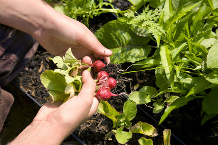 Collecting radishes in the new vegetable garden at Sissinghurst Castle Garden, Cranbrook, Kent