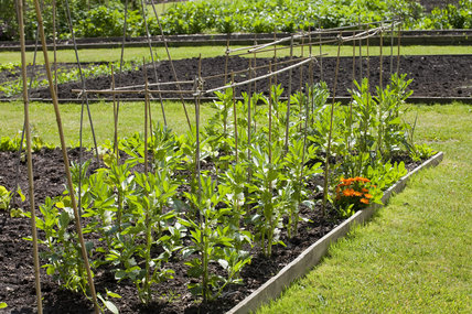 Broad beans in June in the Walled Garden which covers 4 acres at Gibside, Newcastle upon Tyne