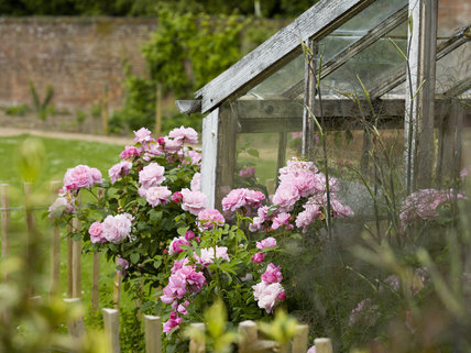 Pink roses cluster along an old greenhouse in the Walled Garden in June at Hinton Ampner, Hampshire
