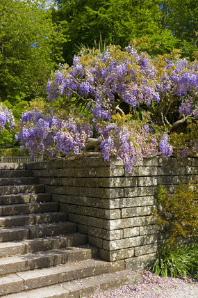 Wisteria growing over a stone retaining wall at the steps leading to the second terrace in the garden at Castle Drogo, Devon