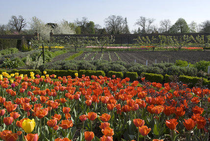 Massed tulips in the Walled Garden in April with the vegetable garden beyond at Wimpole Hall, Cambridgeshire.