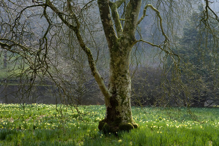 Narcissi carpet the ground around a tree trunk in the garden at Stourhead, Wiltshire, in March