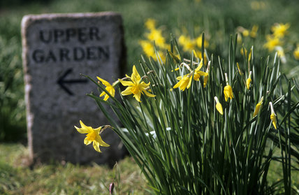 Naturalised daffodils and a granite marker sign pointing to the Upper Garden at Cotehele, Cornwall