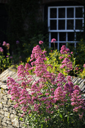 Red valerian (Centranthus ruber), a nectar-rich plant popular with butterflies, bees and hoverflies, at Trelissick Garden, Cornwall, in June