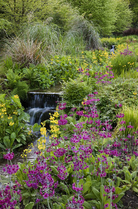 The Stream Garden with Candelabra primula (Primula helodoxa) in June at Trengwainton Garden, Cornwall.