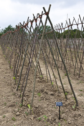 Bean poles ready for Barlotto Lingua di Fuoco, French bean, in the new organic vegetable garden at Sissinghurst Castle Garden, Kent