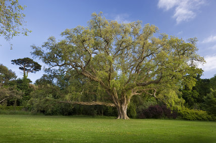 The Cork Oak Lawn with Quercus suber in May at Antony, Cornwall