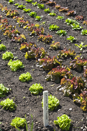 Lettuces including the variety