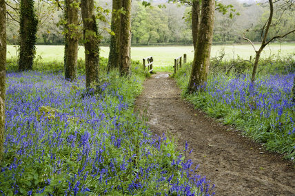 A walk through the bluebell woods in April on the Godolphin Estate, Helston, Cornwall