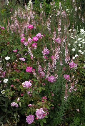 A soft and pretty combination of Linaria, Lychnis and Rosa