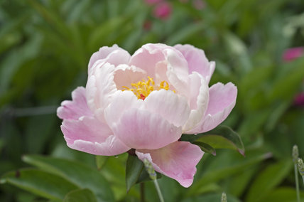 Peony in the peony border at Greys Court, Henley-on-Thames, Oxfordshire