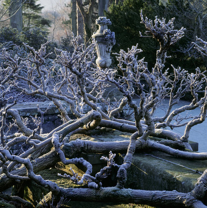 The sun catching the bare frost encrusted branches of a wisteria surrounding a stone urn