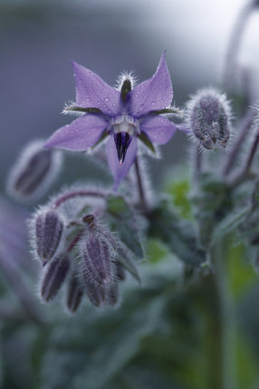 Close-up of a borage (Borago) flower at Barrington Court