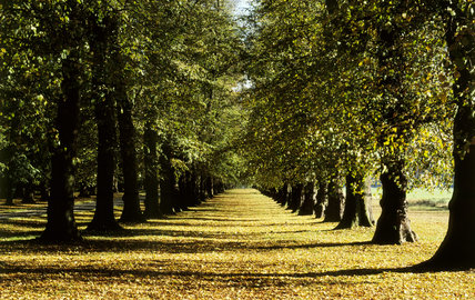 Autumnal view along the double lime walk at Clumber Park, Notts