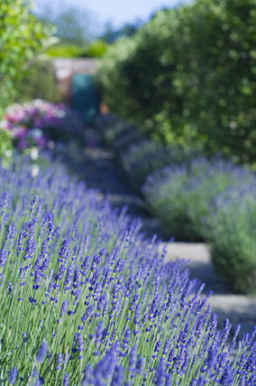 Lavender lines a path at Greys Court, Henley-on-Thames, Oxfordshire
