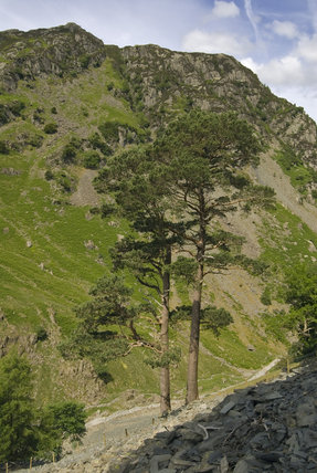 Scots pines on the upper slopes of Castle Crag with a quarry spoil heap, looking north west to the valley of Broadslack Gill, Cumbria