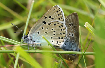 Large Blue Butterfly {Maculinea arion}, adult pair mating. Species formerly extinct in the UK, but successfully re-introduced at Collard Hill, Somerset.