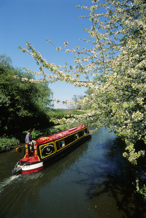 Traditional narrowboat cruising on the River Wey Navigation with hanging spring blossom on a sunny day