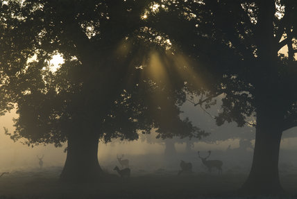Early morning mist with Fallow deer (Dama dama) in autumn, in the magnificent 700-acre deer park at Petworth House, West Sussex