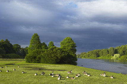 Geese beside the serpentine lake at at Clumber Park, Nottinghamshire