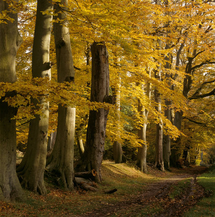Autumnal trees with broad trunks standing by a path on the Ashridge Estate, lots of golden yellow leaves on the branches