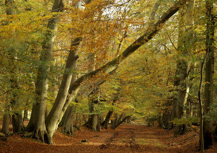Colourful Autumn beeches in Thunderdell Wood on the Ashridge Estate