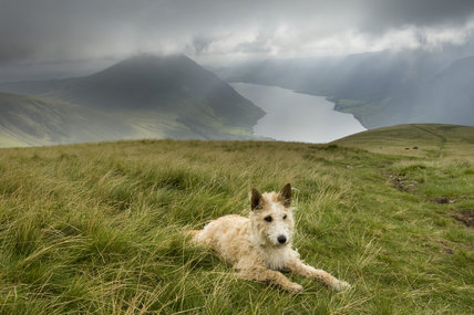 A charming terrier in the breathtaking landscape overlooking Wastwater at Wasdale, Cumbria