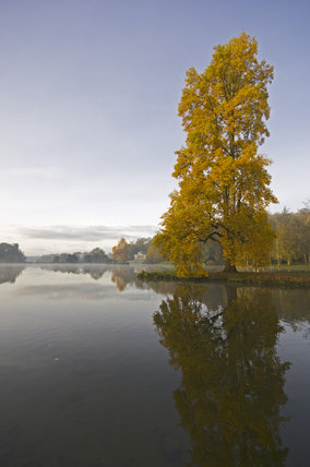 A Liriodendron tulipifera (tulip tree) on an island in the lake at Stourhead in autumn