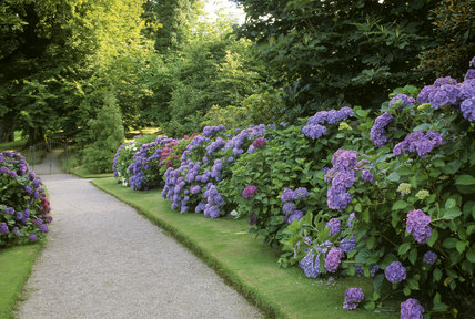 Lines of hydrangea in bloom on the path to the church at Lanhydrock