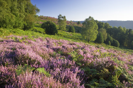 Heather at the Devil's Punch Bowl, Hindhead, Surrey