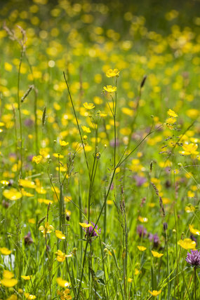 Wildflowers in June in the meadow at Gibside, Newcastle upon Tyne