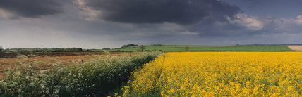 Sweeping rape fields of the Marlborough Downs near Avebury