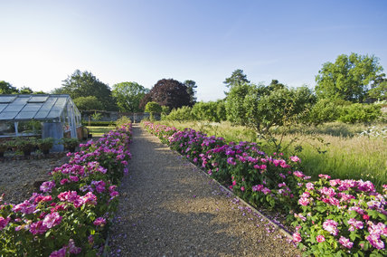 Rosa Gallica hedges line the path in the Orchard at Greys Court, Henley-on-Thames, Oxfordshire