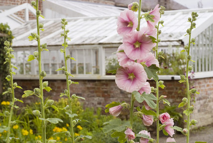 Hollyhocks in the walled garden on the estate at Llanerchaeron, Ceredigion, Wales