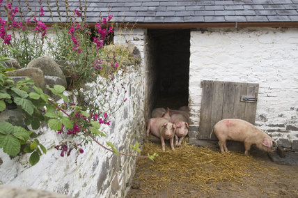 Pigs in their sty on the estate at Llanerchaeron, Ceredigion, Wales