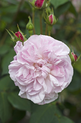 Rose Fantin-Latour at Greys Court, Henley-on-Thames, Oxfordshire
