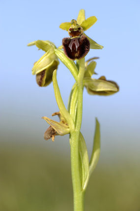 Early Spider-orchid (Ophrys spegodes, previously Ophrys aranifera) at Dancing Ledge, Dorset, in April
