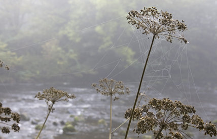 A spider's web strung between dried winter seed heads at Allen Banks, Northumberland