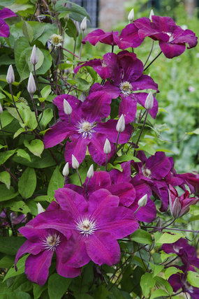 Clematis flowering in the garden at Hardy's Cottage, Dorchester, Dorset, dating from 1800, where Thomas Hardy was born in 1840