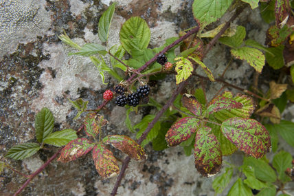Close view of bramble leaves and berries on the Whitehaven Coast, Cumbria