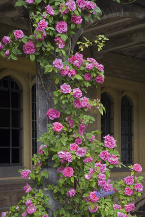 Roses scrambling up a supporting post on the half-timbered wing to the south west of the hall at the fifteenth-century Great Chalfield Manor, Wiltshire