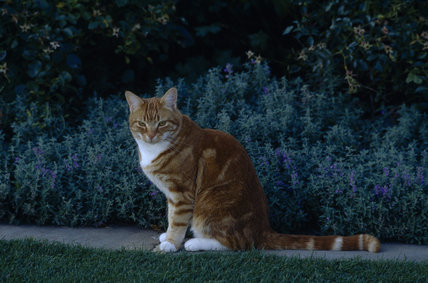 Jock the Cat in the garden at Chartwell