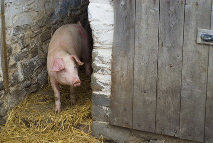 Pig emerging from its sty, on the estate at Llanerchaeron, Ceredigion, Wales