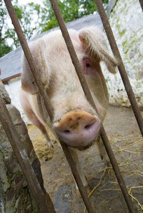 Pig poking its snout between the bars of the sty, on the estate at Llanerchaeron, Ceredigion, Wales