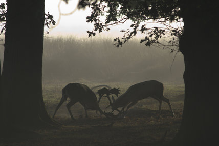 Fallow deer (Dama dama) bucks locking antlers during the rut in autumn, in the magnificent 700-acre deer park at Petworth House, West Sussex