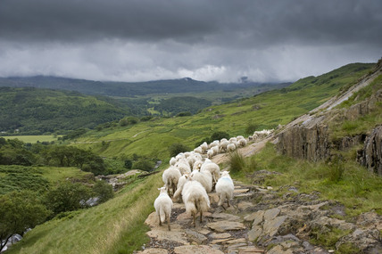 Gathering The Welsh Mountain Sheep On Watkin Path On The