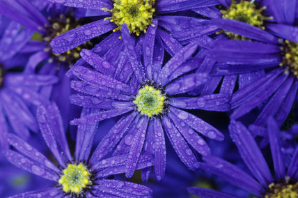 Aster amellus 'Violet Queen' (2) in September