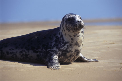 A solitary seal sits with its head upright and its paws supporting it on a beach at Blakeney Point