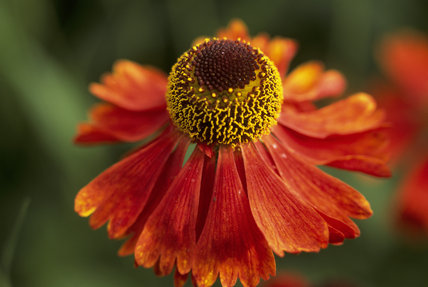A close up of a Helenium, the centre of the head is a dark red colour and the outer part a vibrant yellow