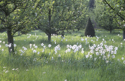 An Old Pheasant's Eye narcissi at Erddig are naturalised in long very regular rectangular blocks below the 19th Century apple cultivars